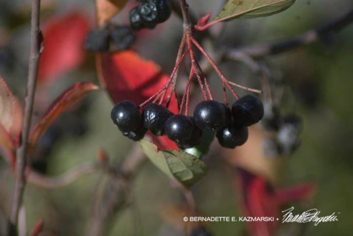 Cotoneaster berries 2