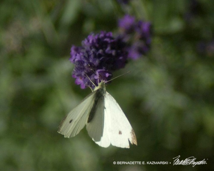 Male cabbage white butterfly on salvia