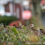 Sparrow Hedge