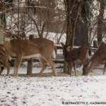four white-tailed deer