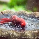 american cardinal in birdbath