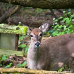 fawn at bird feeder