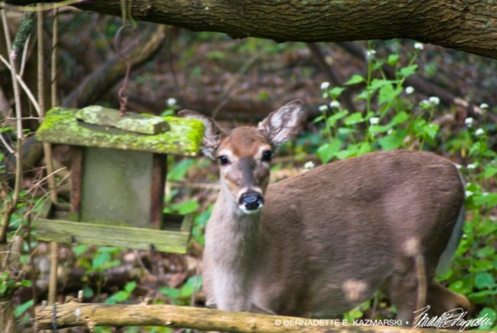 fawn at bird feeder