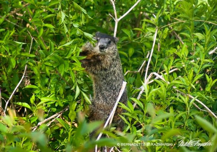 groundhog in forsythia