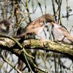 mother sparrow feeding babies on brancj