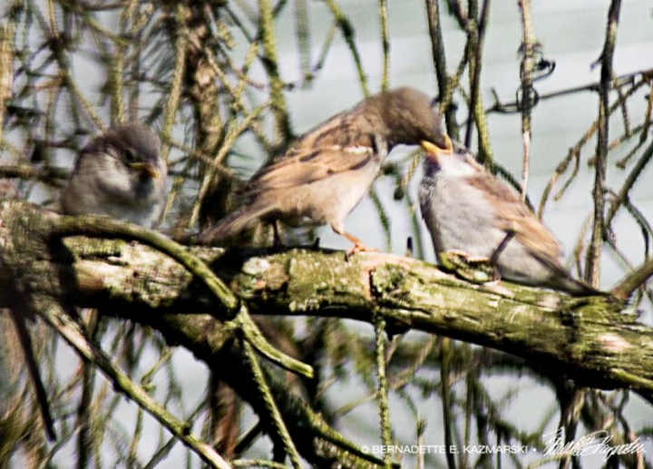 mother sparrow feeding babies on brancj