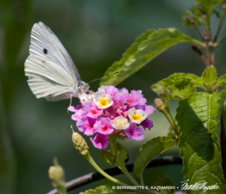 cabbage butterfly on verbena