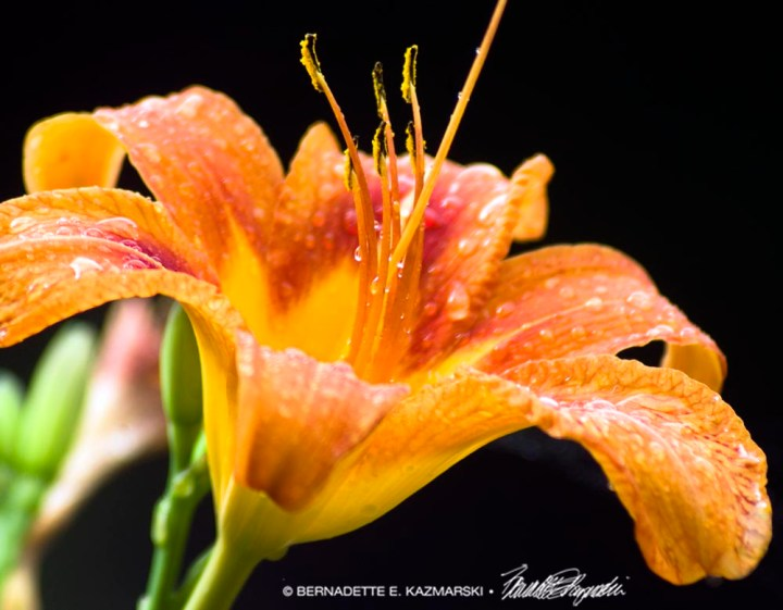 daylily with raindrops
