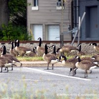 Geese at the Bank