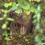 fawn in trees