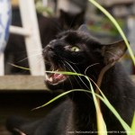 black cat eating lemongrass