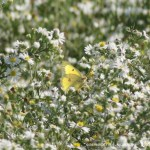 clouded sulfur and white asters