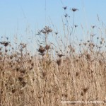 dried grasses and wildflowers
