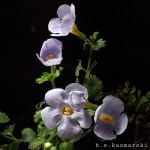 blue bacopa
