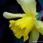 daffodil with raindrops