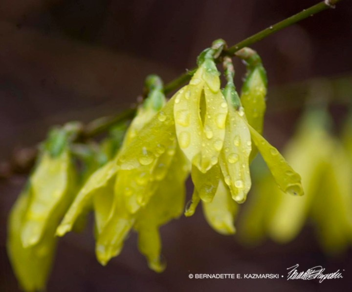 forsythia with raindrops