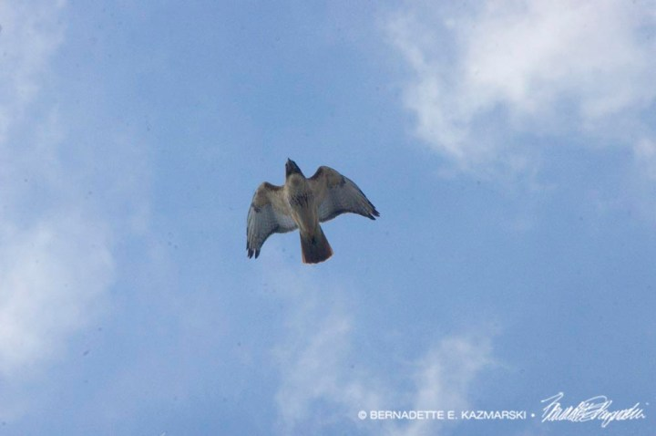 Red-tail in the clouds