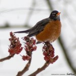 robin on sumac