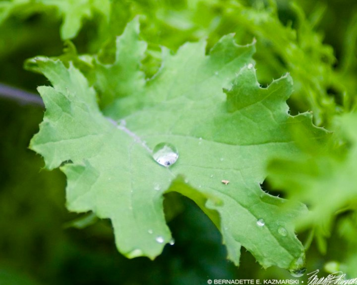 Kale with one drop