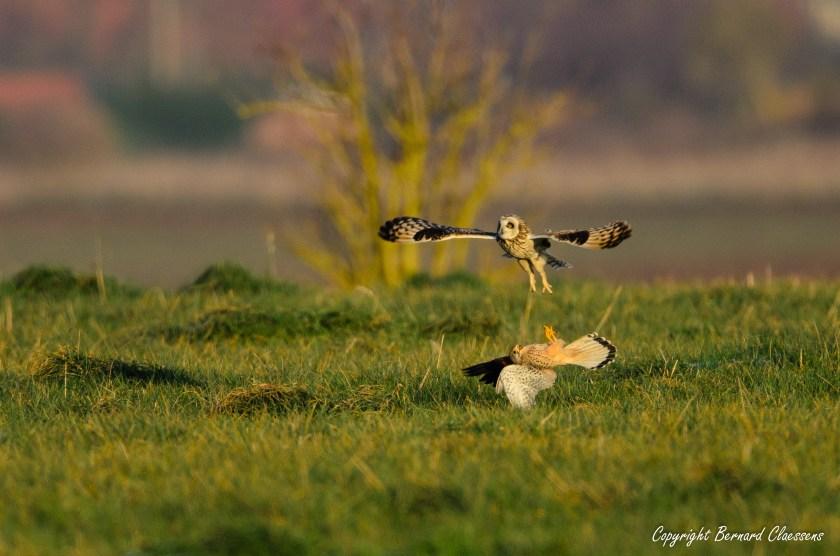 Hibou des marais contre faucon crécerelle