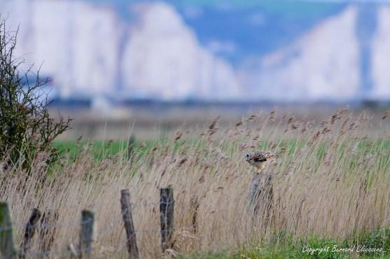 Hibou des marais, son piquet , sur fond de falaises d'Ault Onival bien sûr!