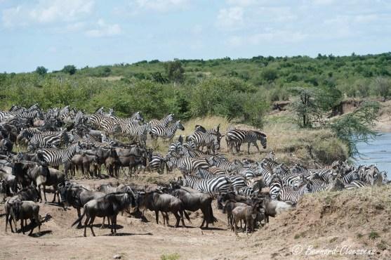 Le troupeau, compact, se rassemble sur la berge et fait des allers et retours pendant plus d'une heure...grosse hésitation car ils ont vu les Crocodiles...