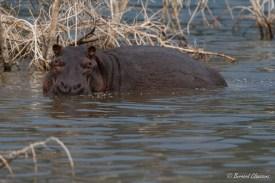 Hippopotame du Lac Bogoria