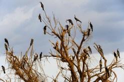 Un des arbres servant de dortoir aux nombreux Anhingas du Baringo