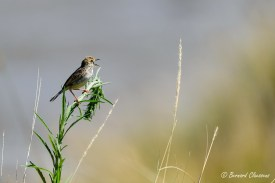 Très difficile d'identifier l'espèce exacte car 33 différentes sont présentes au Kenya !