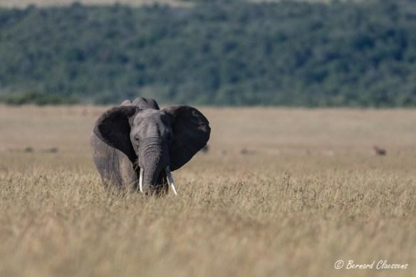 Un Eléphant dans la plaine...