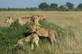 De jeunes lions attendant leurs aînées parties à la chasse