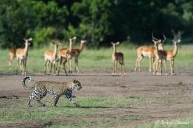 Passage en revue du garde-manger…(Impalas)
