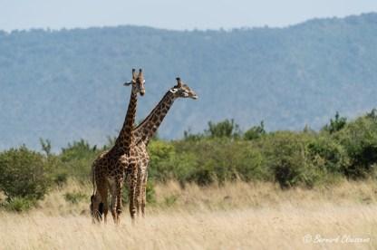"""""""Girafe à deux têtes..."""""""