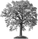 white-ash-tree