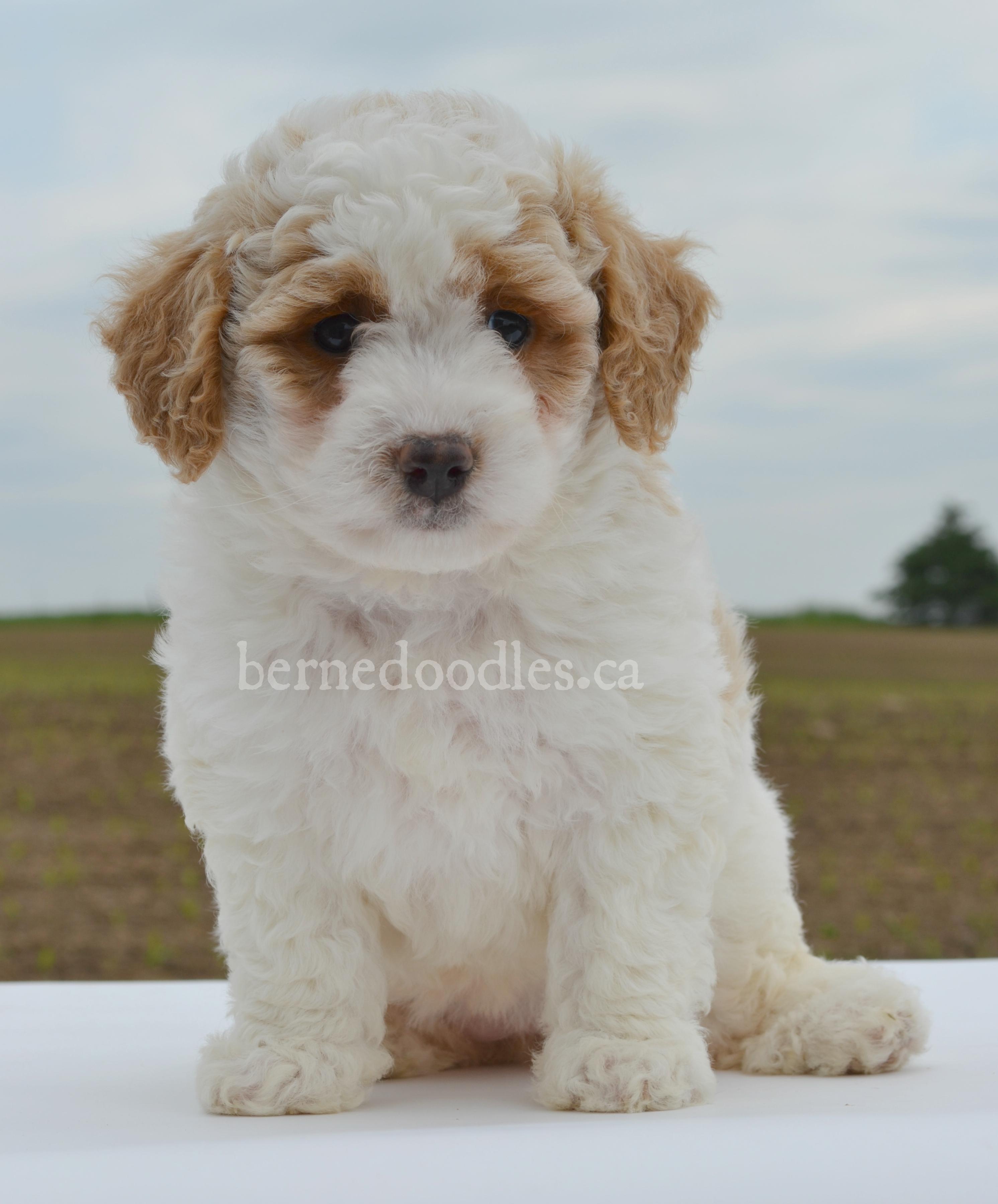 Allie's F1B Mini Bernedoodle Puppies
