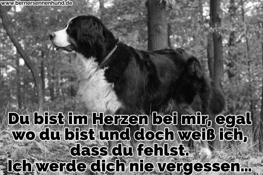 Ein Berner Sennenhund im Wald