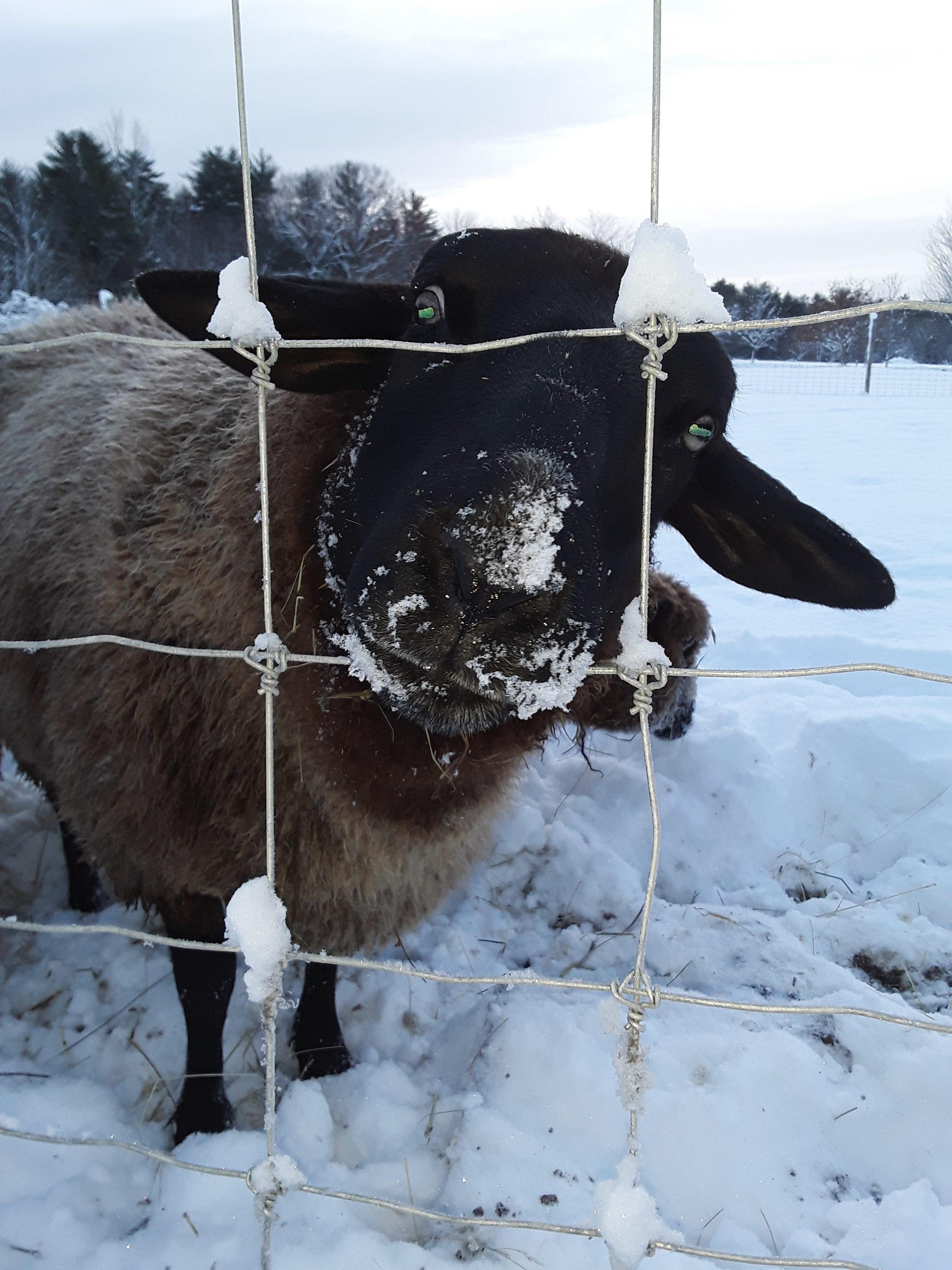 Sheep sticking his head through a gate
