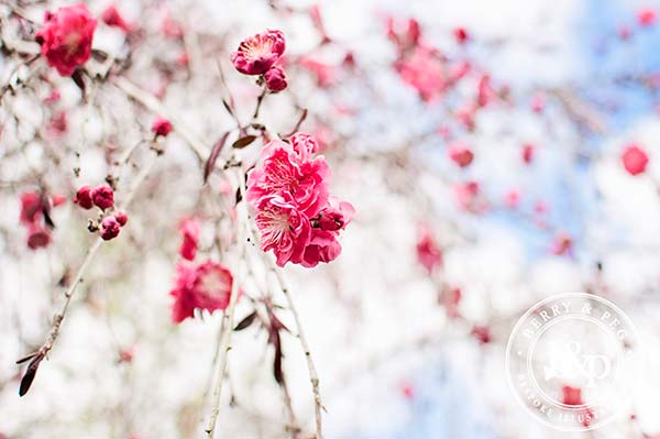 chinese-blossoms