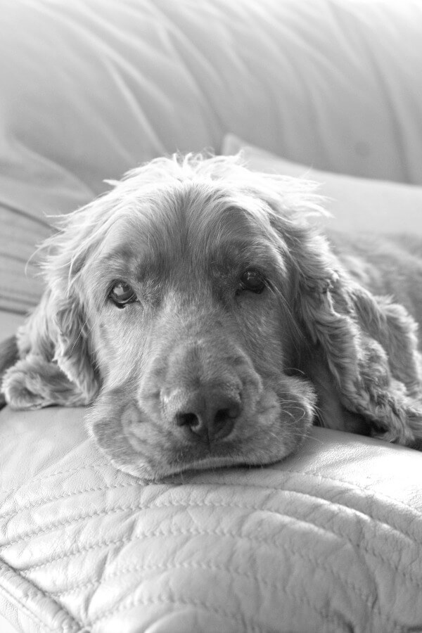 Louie the spaniel. About page | berrysweetlife.com