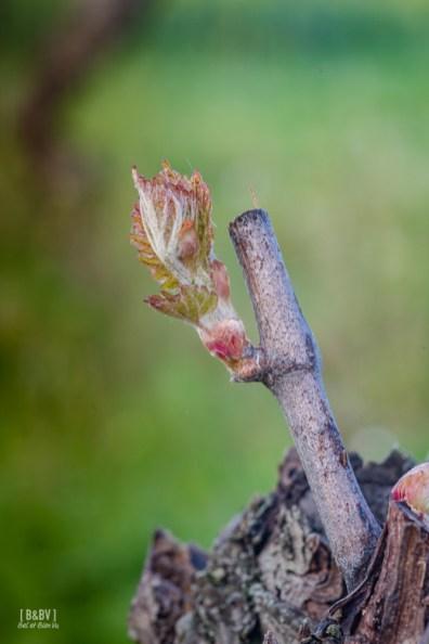 premieres feuilles de vigne