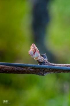 debourrement de la vigne - Sud Toulousain