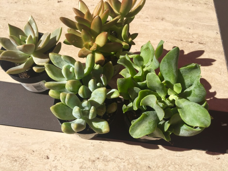 DIY succulents in a sea shell 1
