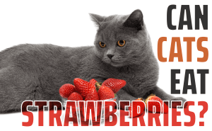 Can Cats Eat Strawberries?