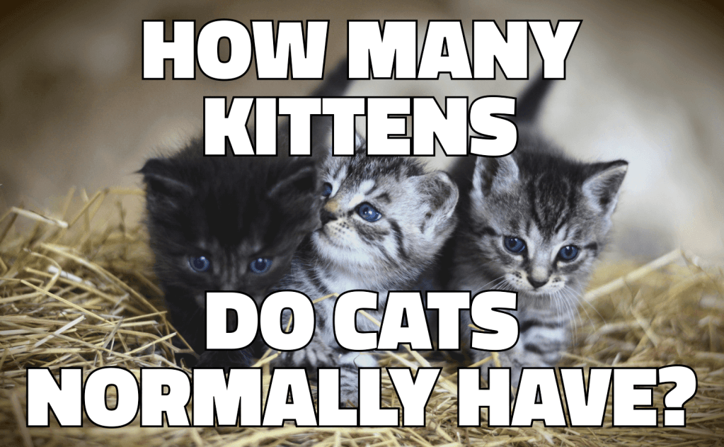 How Many Kittens Do Cats Normally Have?