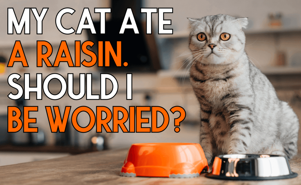 My Cat Ate a Raisin. Should I Be Worried?