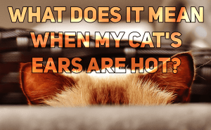What Does It Mean When My Cat's Ears Are Hot?