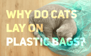 Why Do Cats Lay On Plastic Bags?