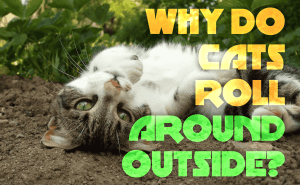 Why Do Cats Roll Around Outside?