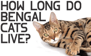 How Long Do Bengal Cats Live?
