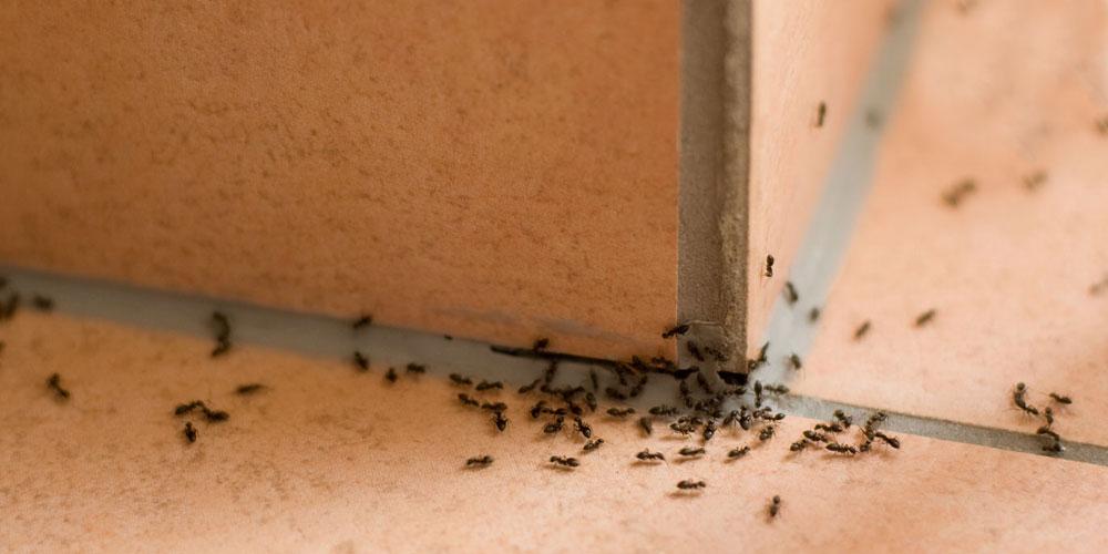 El control de plagas de hormigas